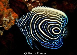 A beautiful juvenile emperor angelfish.  Such a tricky su... by Valda Fraser